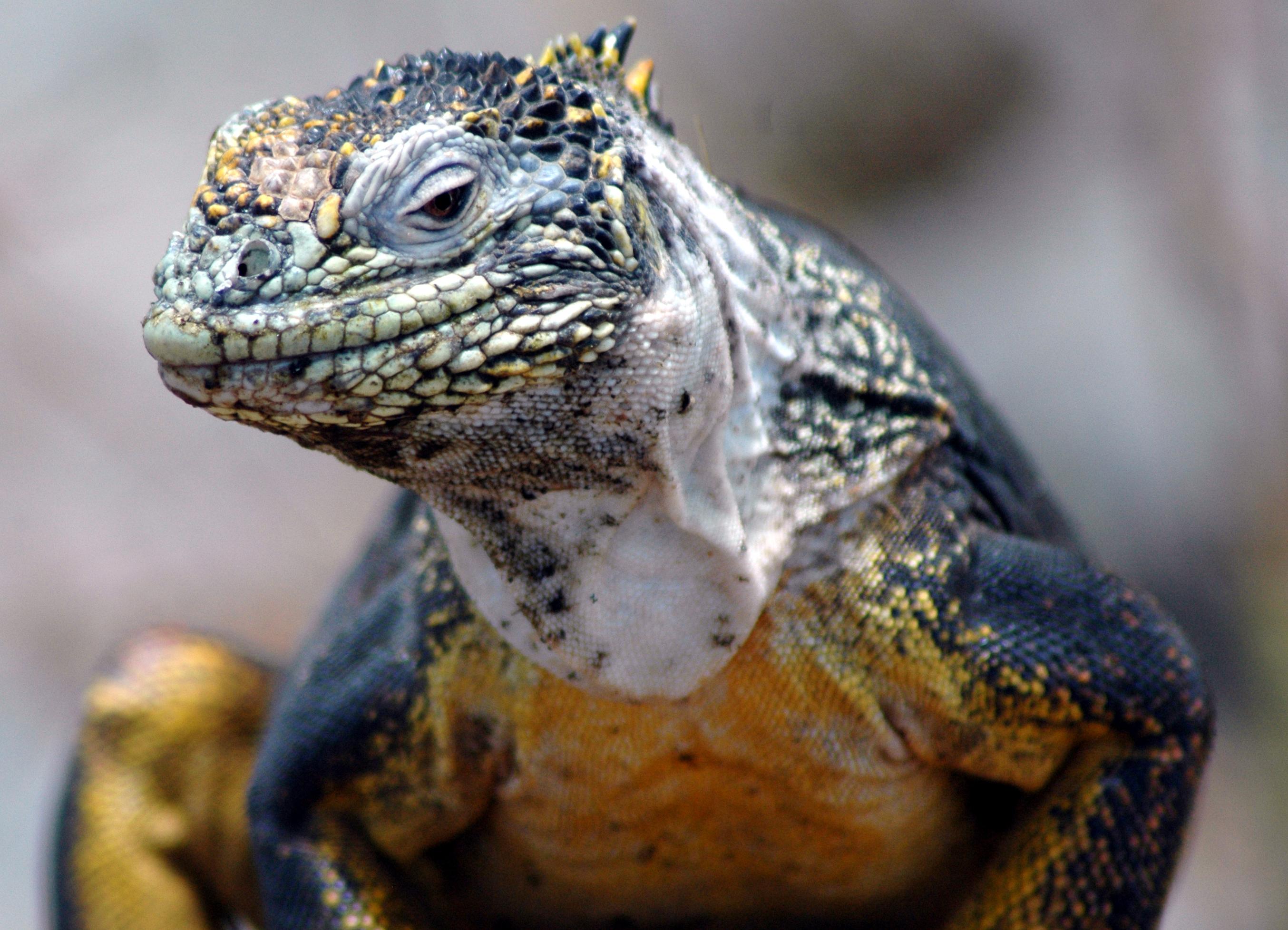 File:Galapagos Islands Land Iguana.JPG - Wikimedia Commons