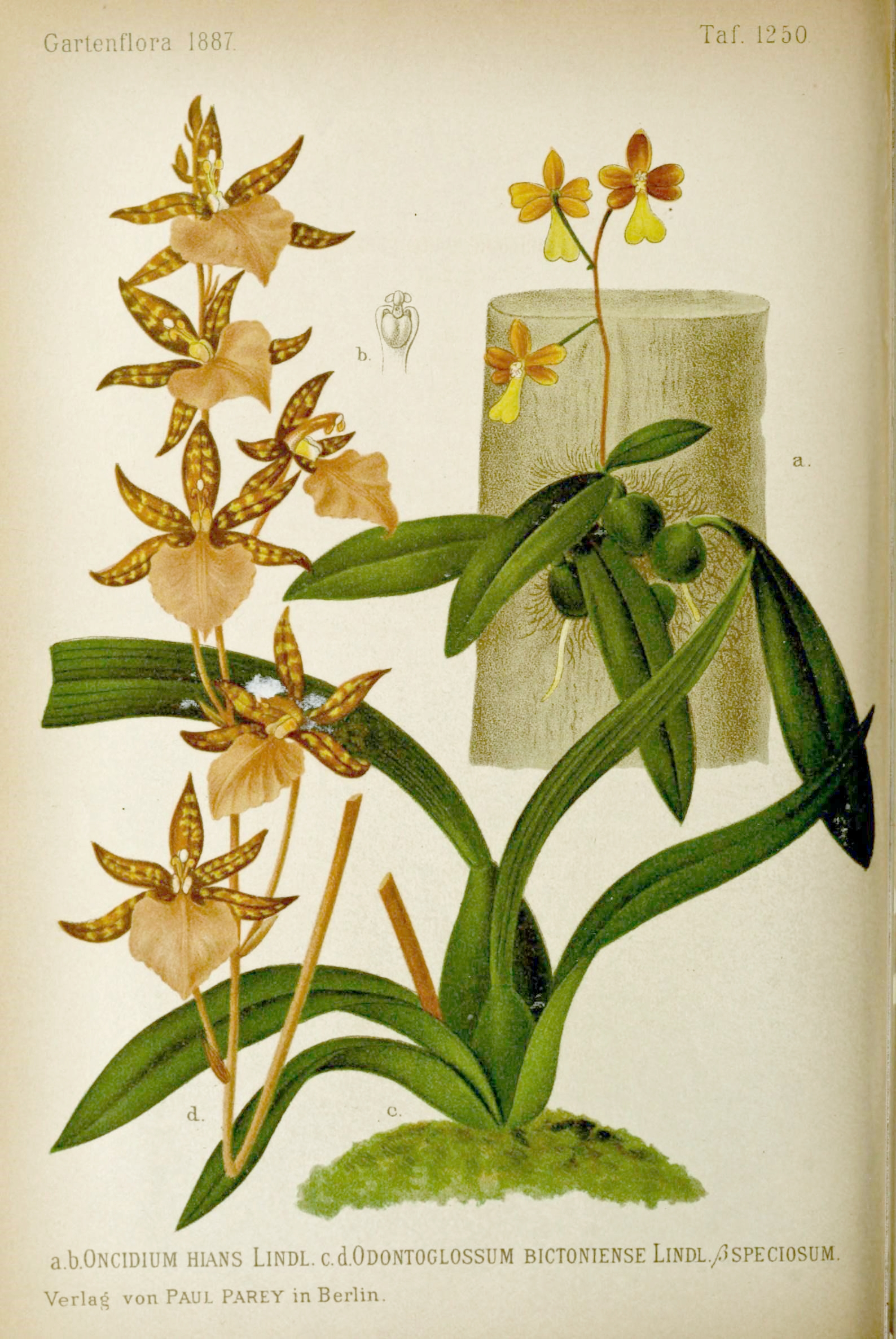 Filegartenflora 15436429264jpg Wikimedia Commons