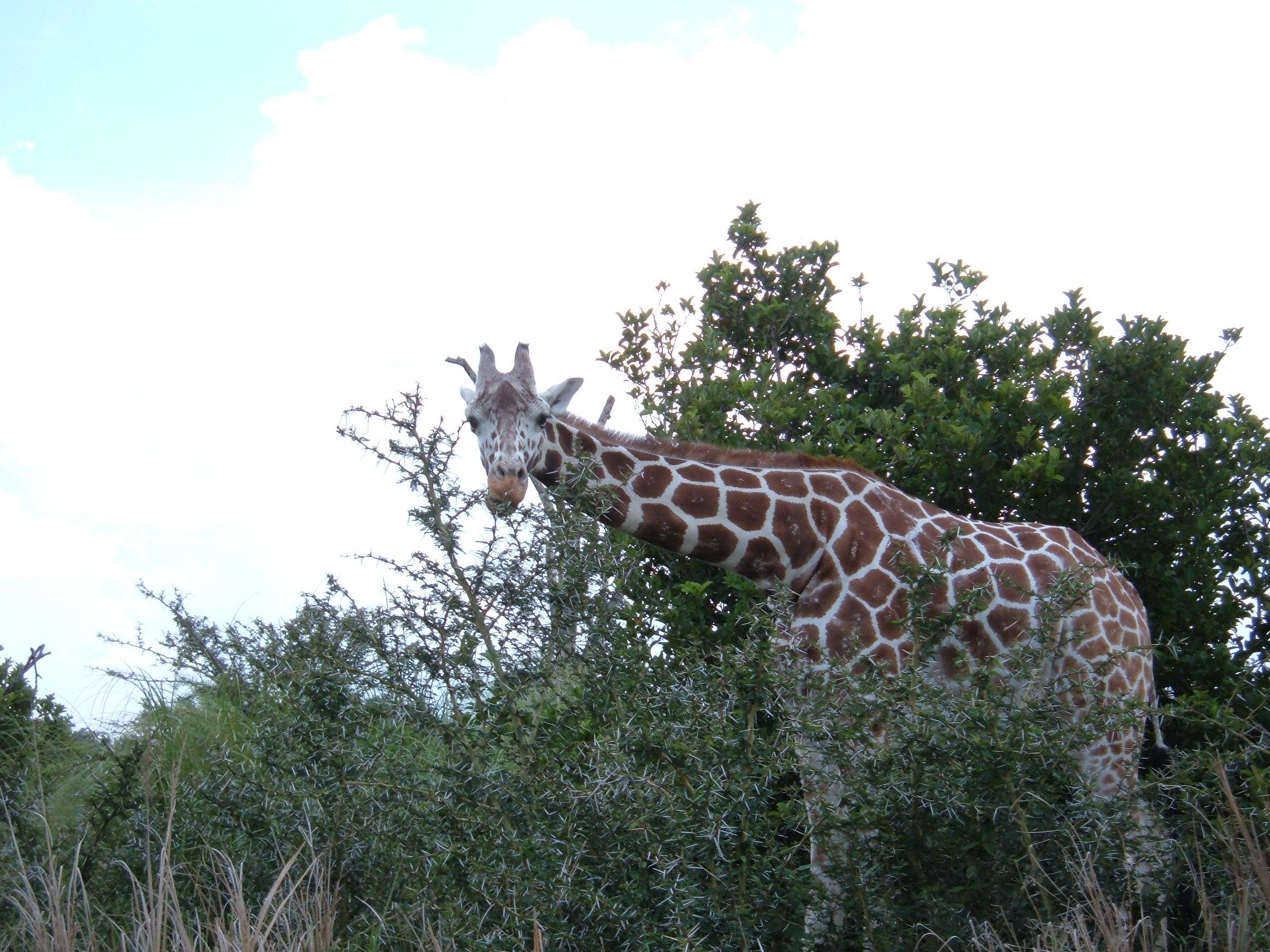 Giraffe, Kilimanjaro Safaris.JPG