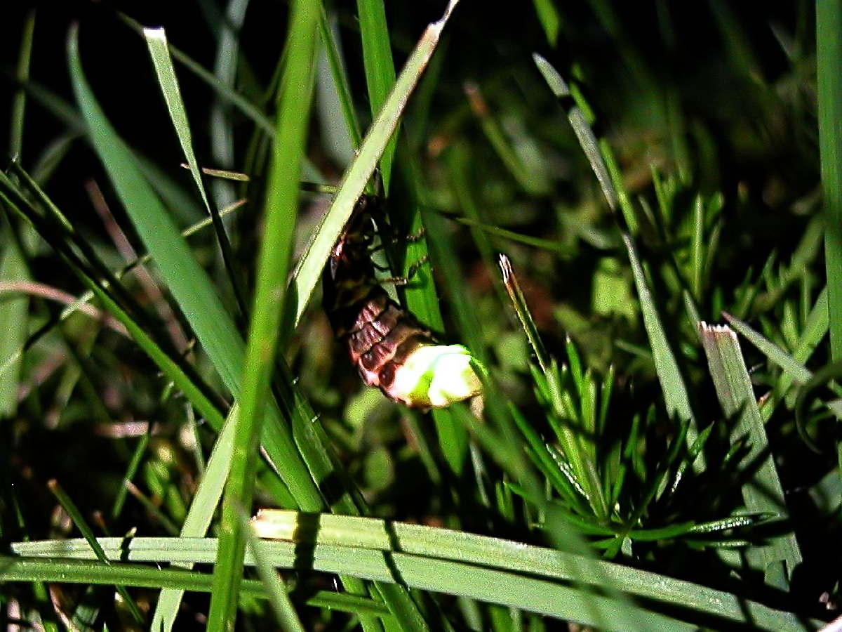 British glow-worm lit up among grass stems