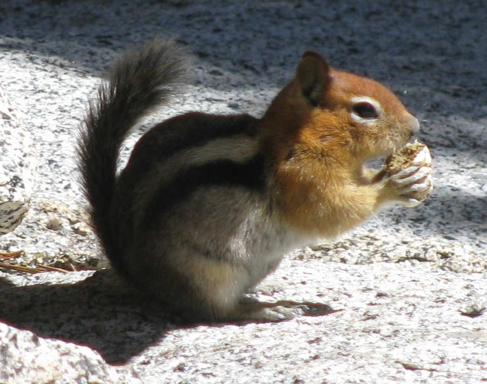 GoldenMantledGroundSquirrel.JPG