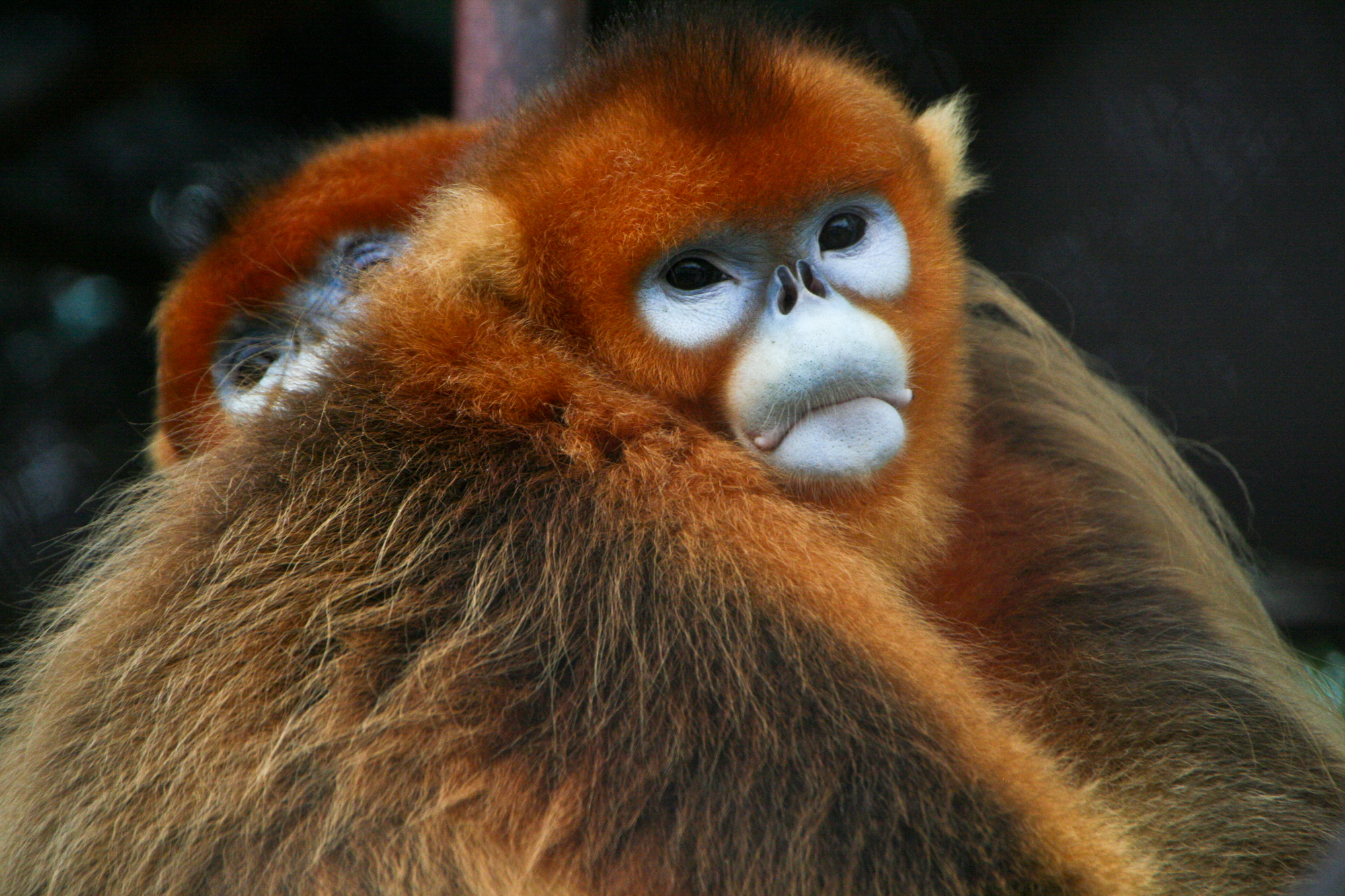 https://upload.wikimedia.org/wikipedia/commons/9/91/Golden_Snub-nosed_Monkeys.jpg