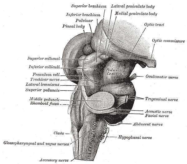 Posterolateral sulcus of medulla oblongata - Wikipedia