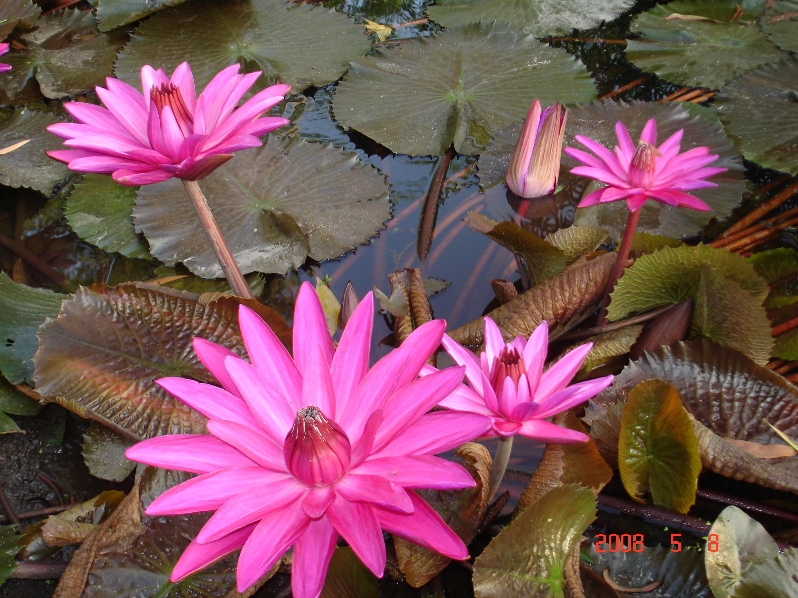 File:Hoa Súng.jpg - Wikimedia Commons
