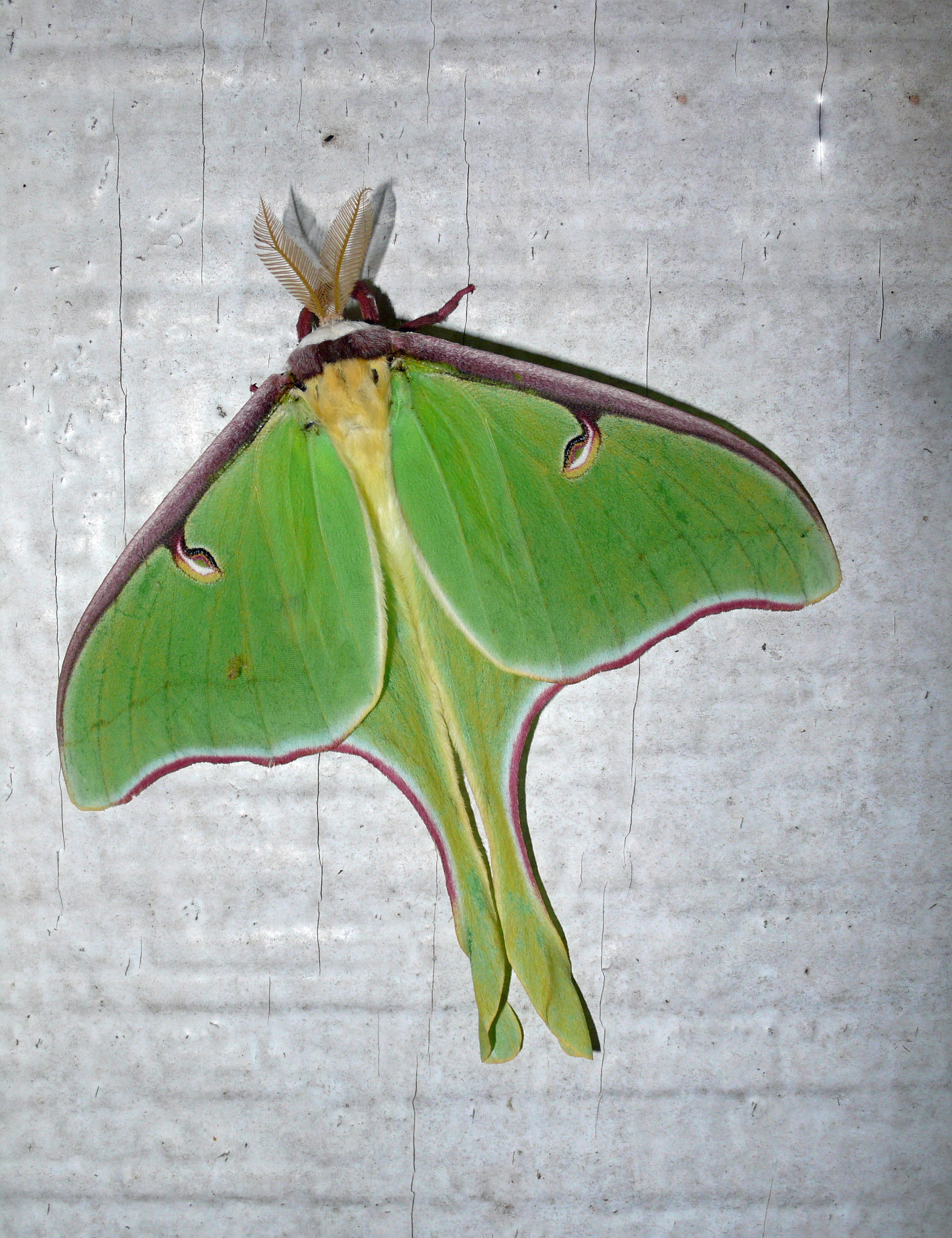 A luna moth (Actias luna), one of several stunning species that you might see in Pennsylvania.