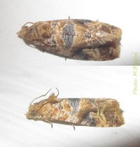 <i>Lobesia</i> Genus of tortrix moths