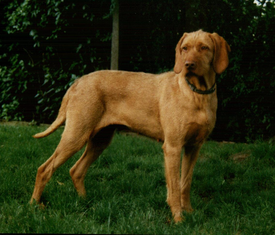 Wirehaired Vizsla - Dog Scanner