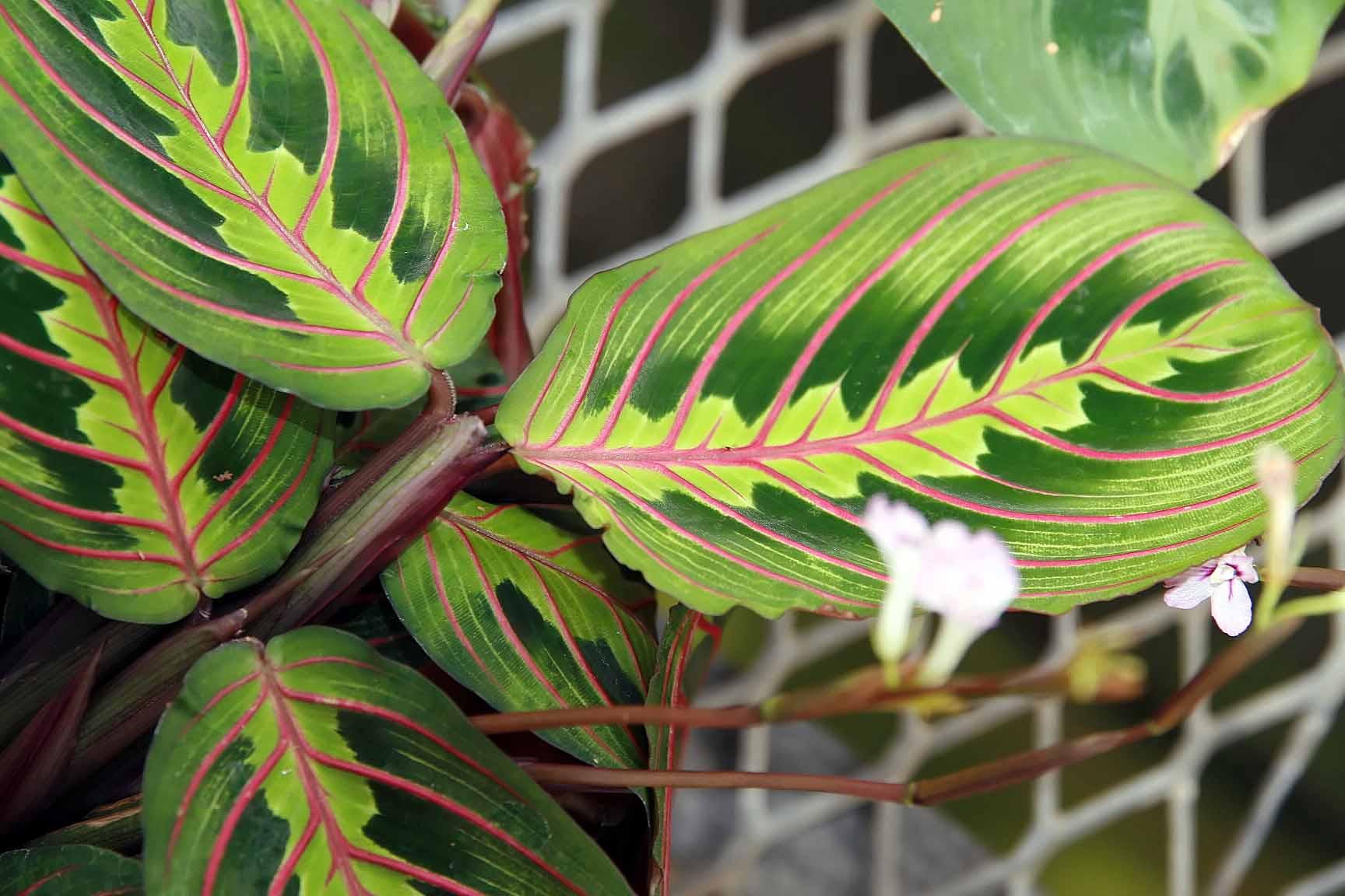 File:Maranta leuconeura 2zz.jpg - Wikimedia Commons