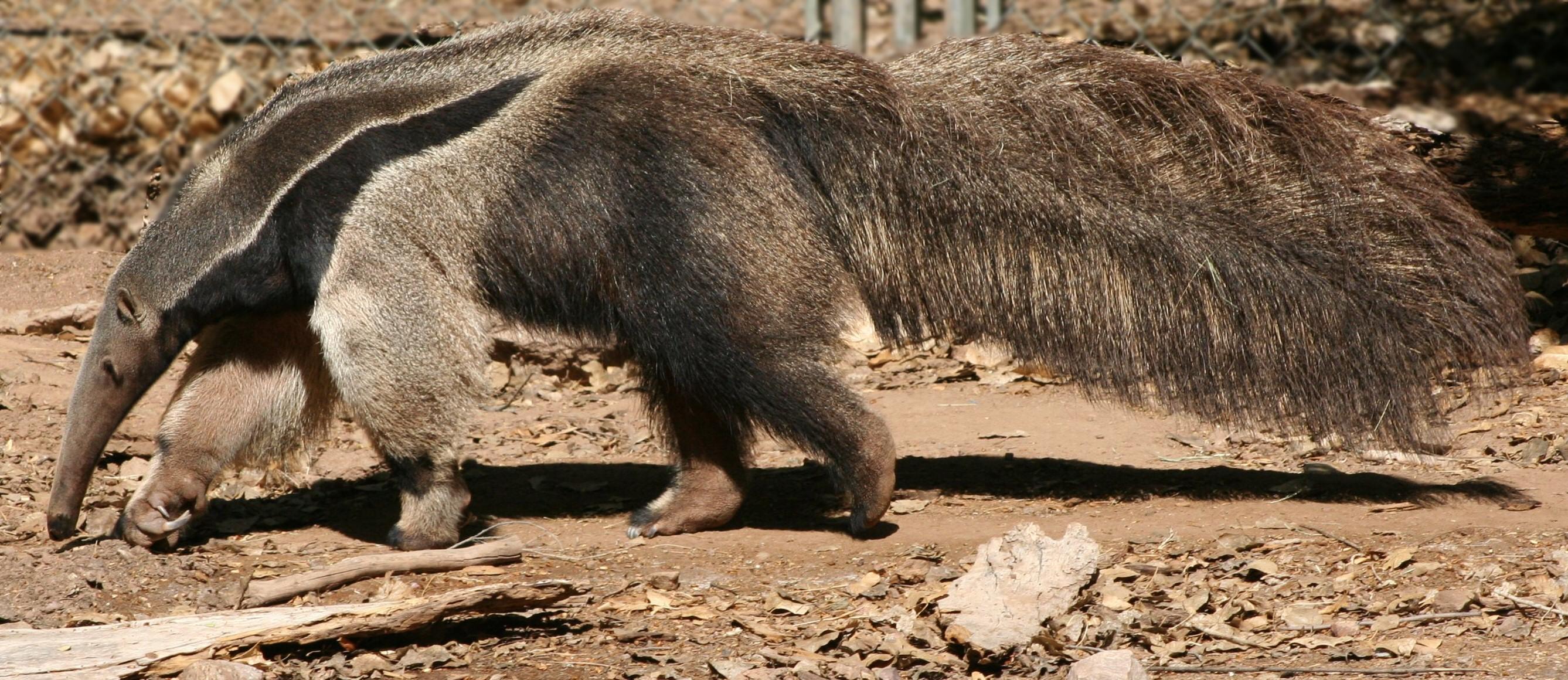 File myrmecophaga tridactyla phoenix wikimedia commons - Animal qui mange les fourmis ...