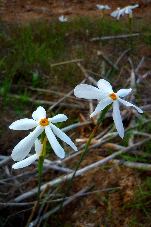 Medio Ambiente y Repoblaciones Forestales 2012-13 - Página 2 Narcissus_serotinus_491