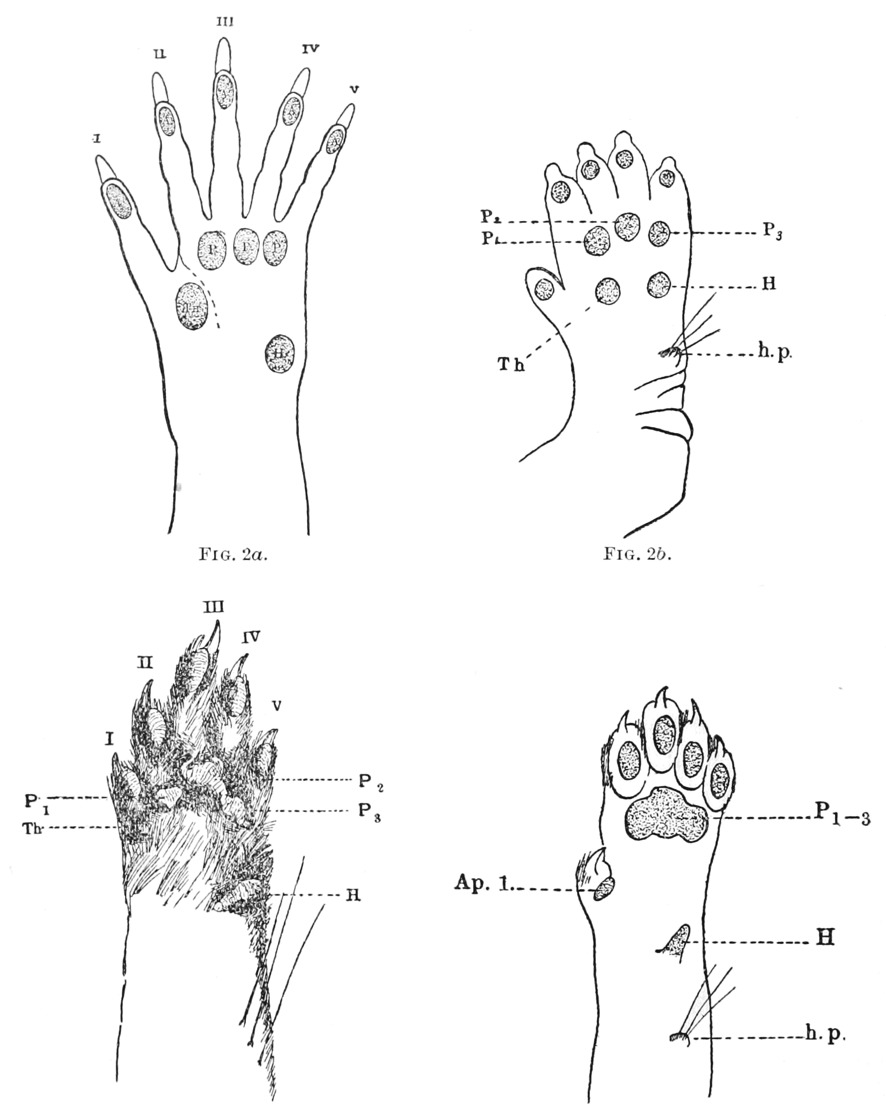 PSM V62 D050 Arrangement of pads on a mammalian foot.png
