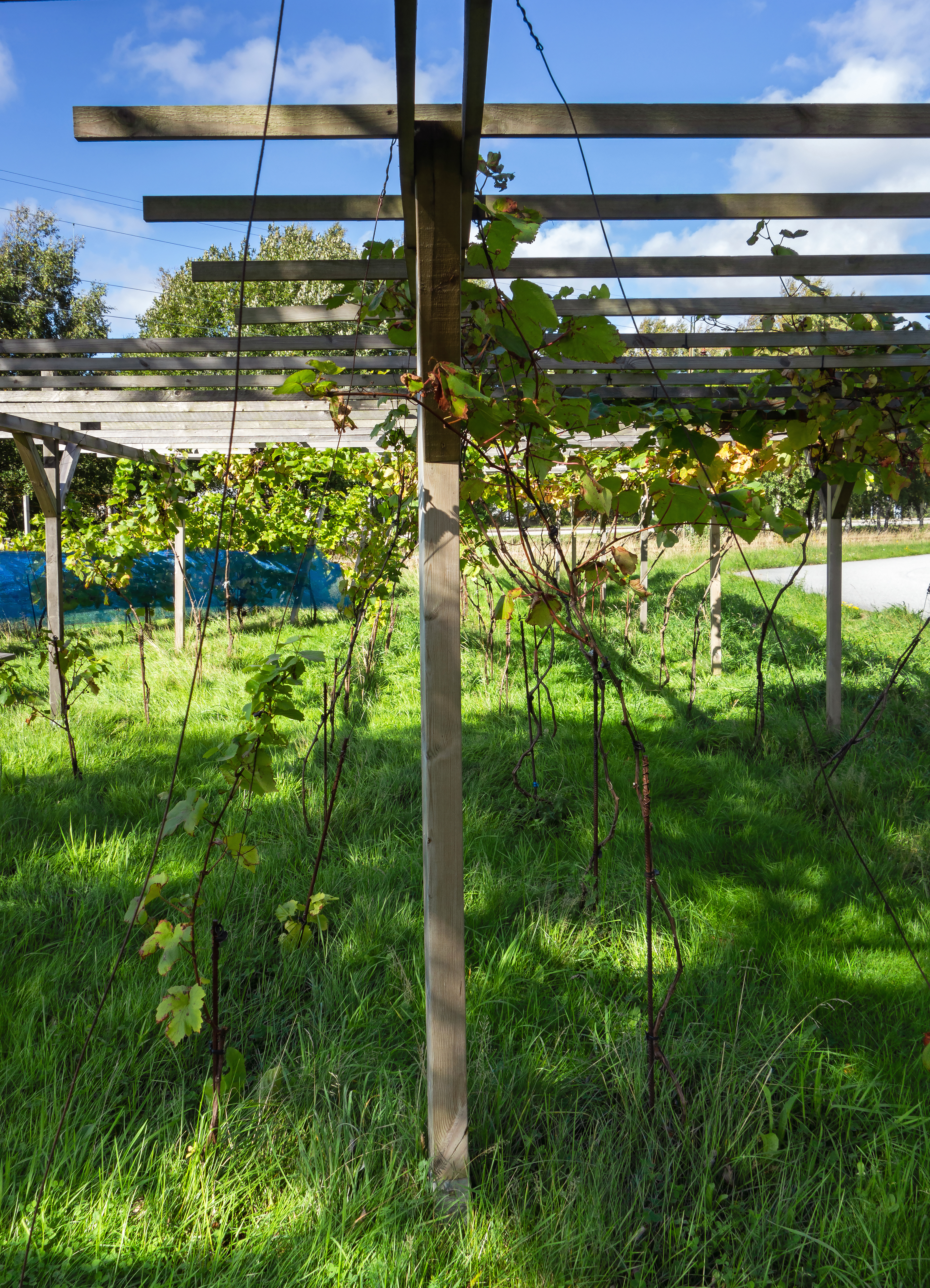 FILE PERGOLA AT HARVEST IN CHATEAUX LUNA VINEYARD 2 JPG WIKIMEDIA
