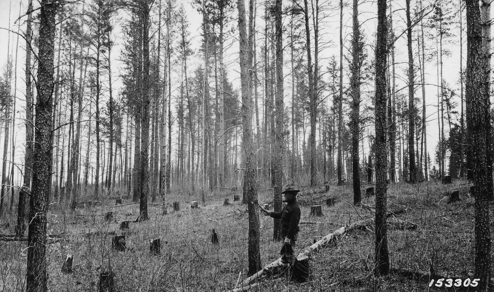 File photograph of a forest service timber sale within