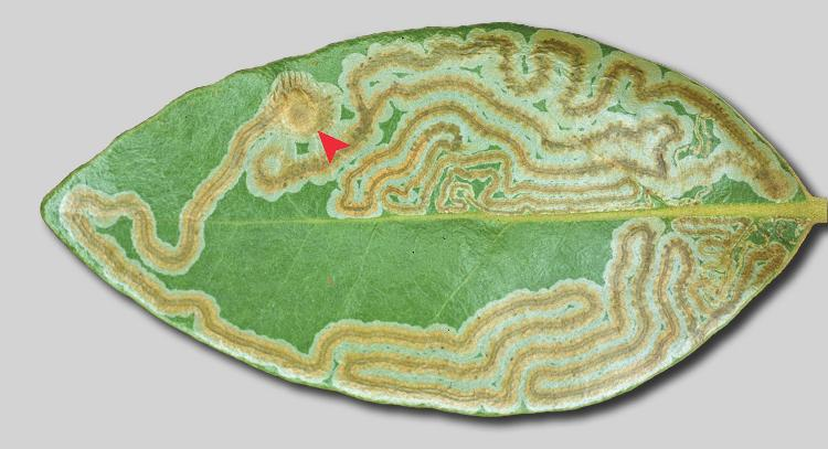 Phyllocnistis_hyperpersea_mine.JPG