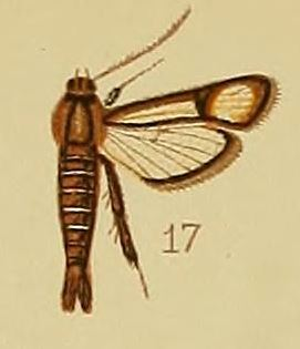 Pl.41-fig.17-Synanthedon flavipalpis (Hampson, 1910) (Lepidopoda).JPG