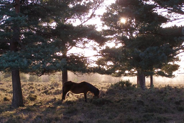 Pony grazing beneath pines on Rockford Common, New Forest - geograph.org.uk - 312992