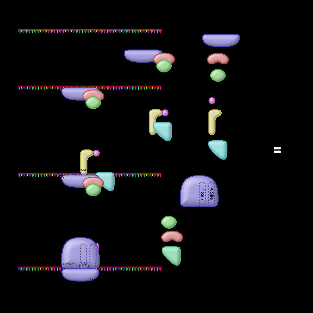 fileprokaryotic translation initiationpng wikimedia