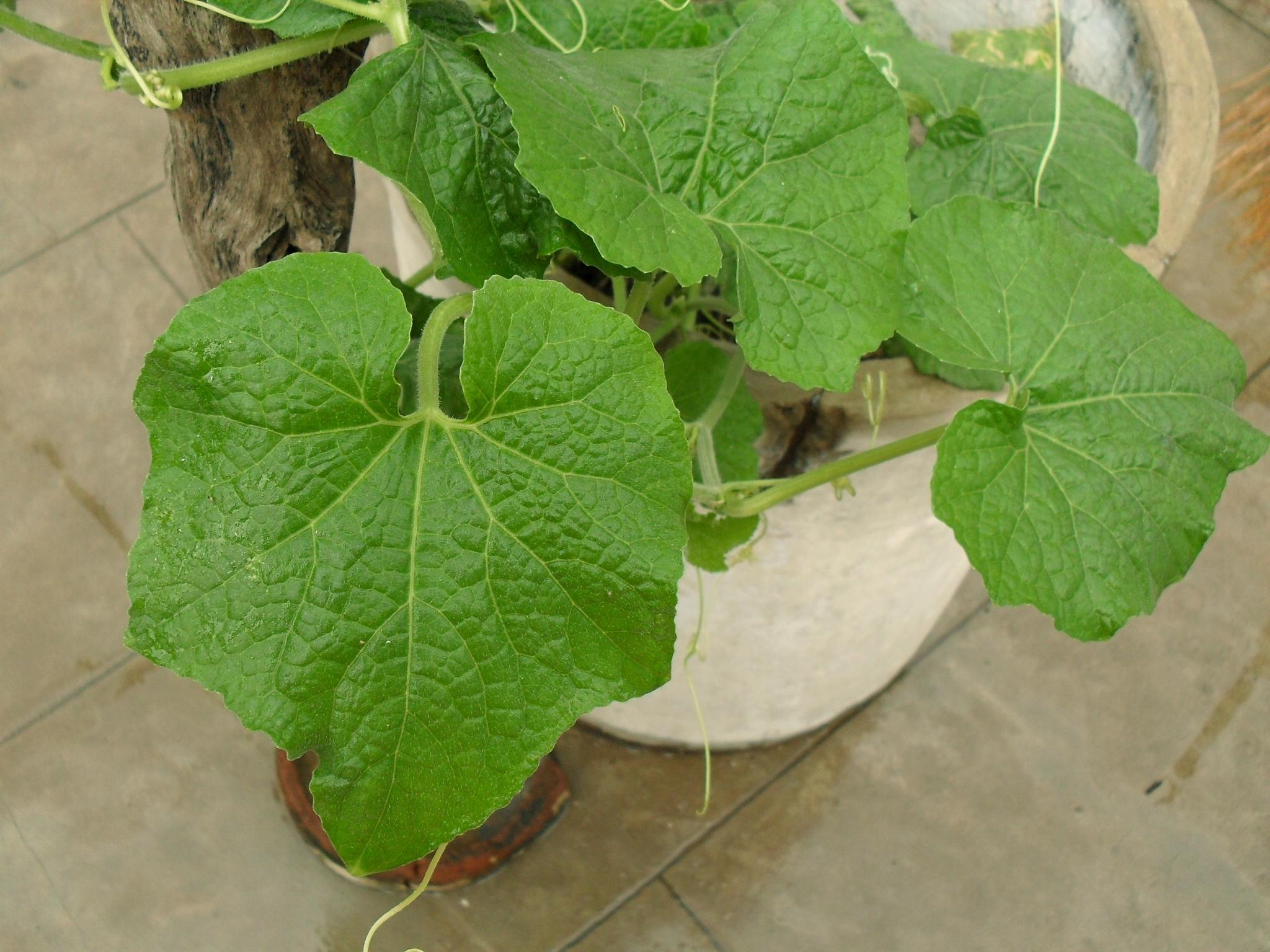 File:Pumpkin plant (OCTAGON leaf)ofTamilnadu157.jpg