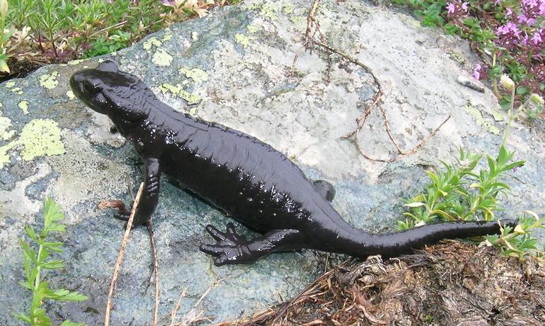Salamandra lanzai11