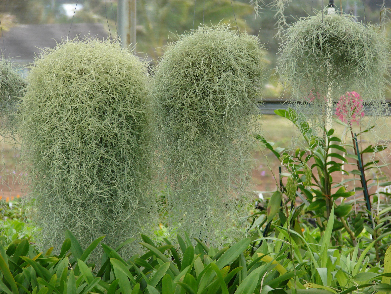 Тилландсия уснеевидная - Комнатные растения и цветы ...