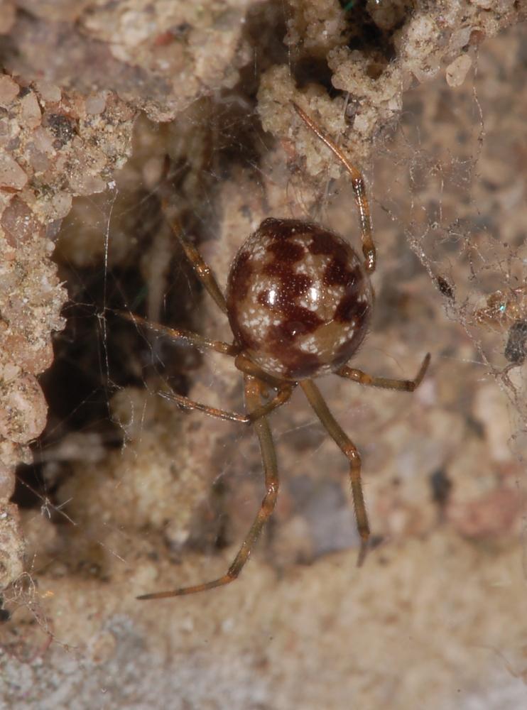 Triangulate Cobweb Spider Wikipedia