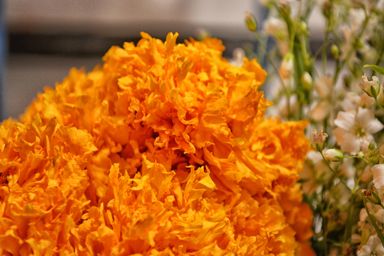 File:Tagetes erecta (cempasuchil) - flor de Día de Muertos ...