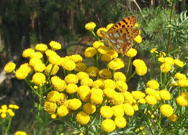File:Tansy and Queen of Spain Fritilllary.JPG