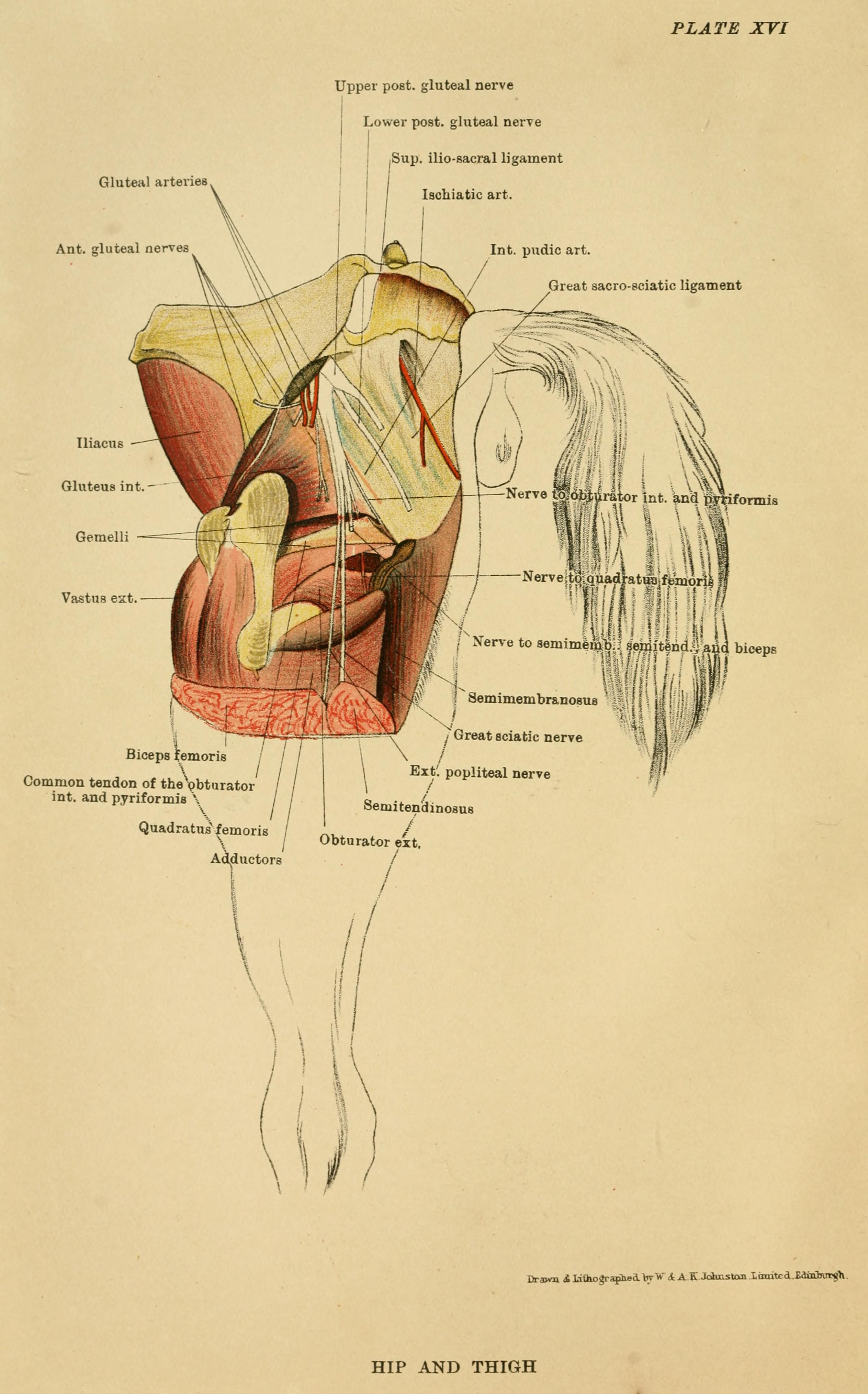 Filethe Anatomy Of The Horse A Dissection Guide 1922