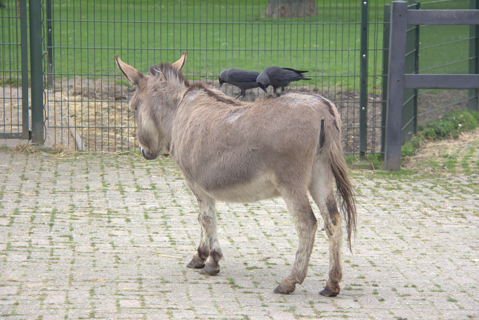 File Two Crows Eating On The Back Of A Donkey Jpg Wikimedia Commons