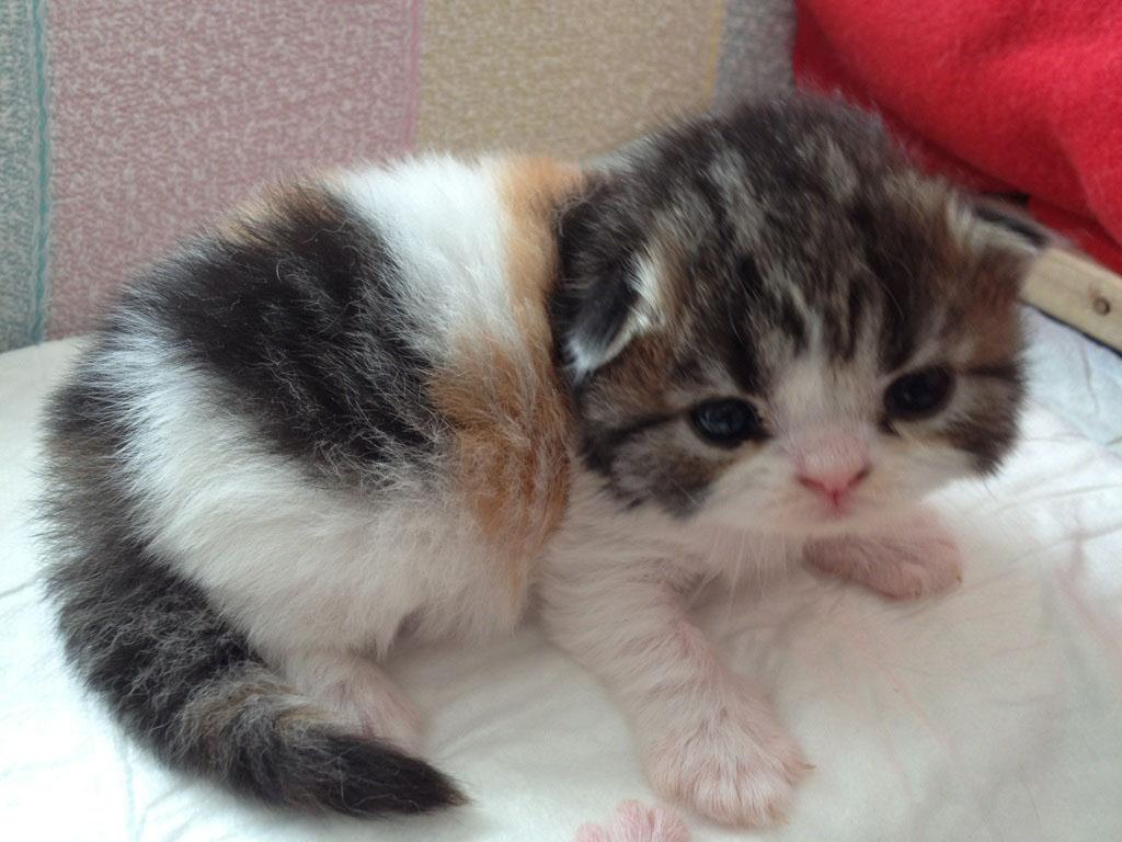 британская вислоухая кошка википедия