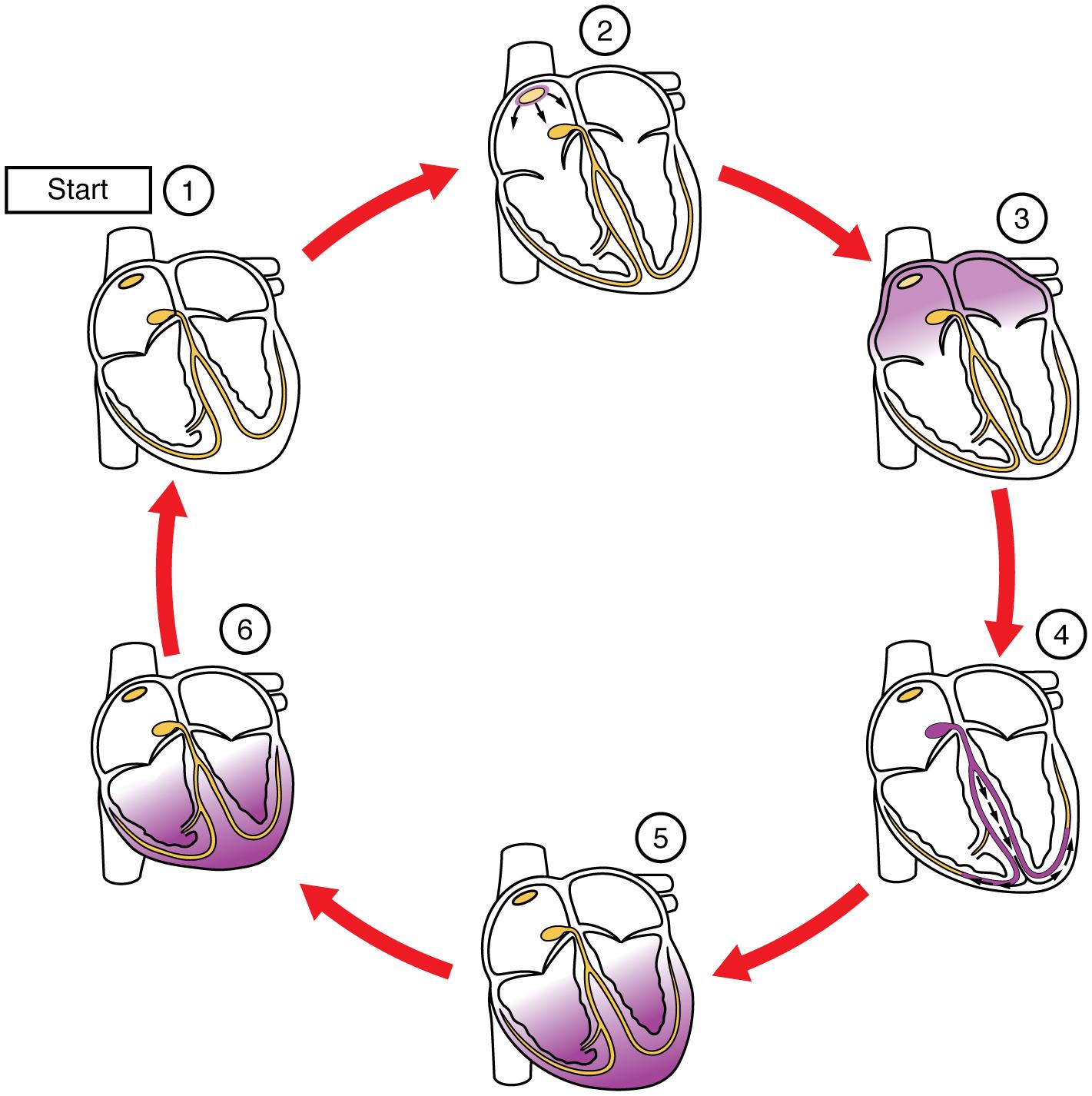 File:2019 Cardiac ConductionN.jpg - Wikimedia Commons