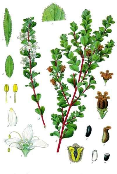 File:Agathosma betulina - Köhler–s Medizinal-Pflanzen-020.jpg