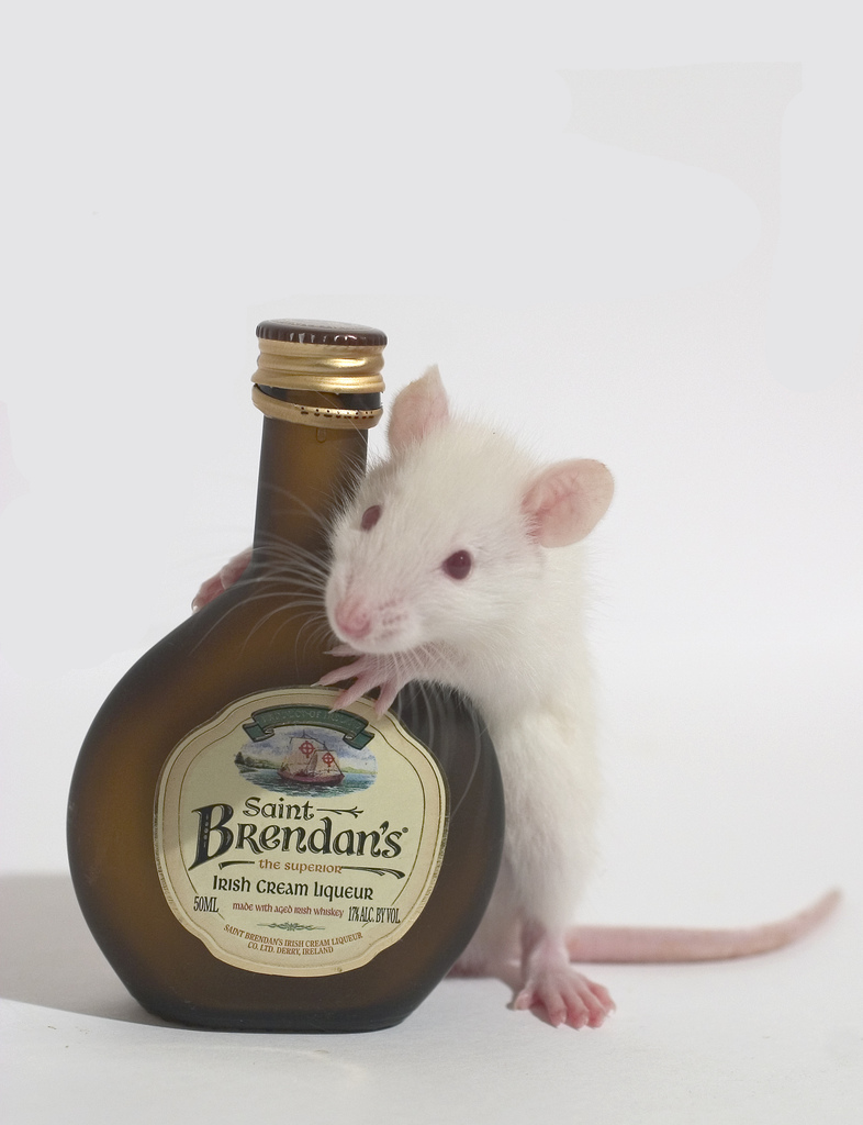 An image of a white rat with a bottle of Irish Cream.