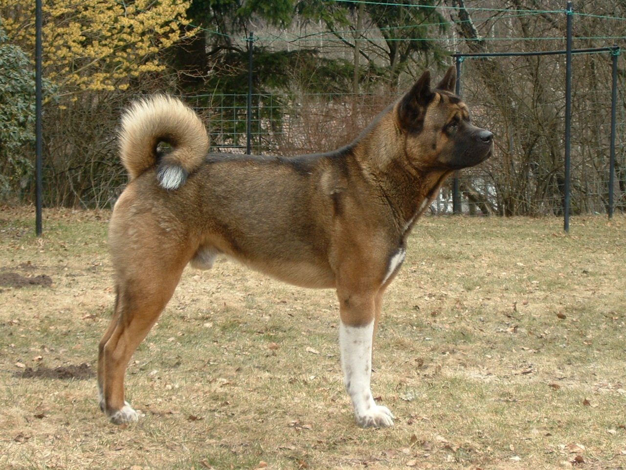 inu akita, akita pics, akita photos, akita fotos, pics of akita, akita pictures, dog akita, akita dog, puppy pictures, pictures of dogs, dogs pictures, akita