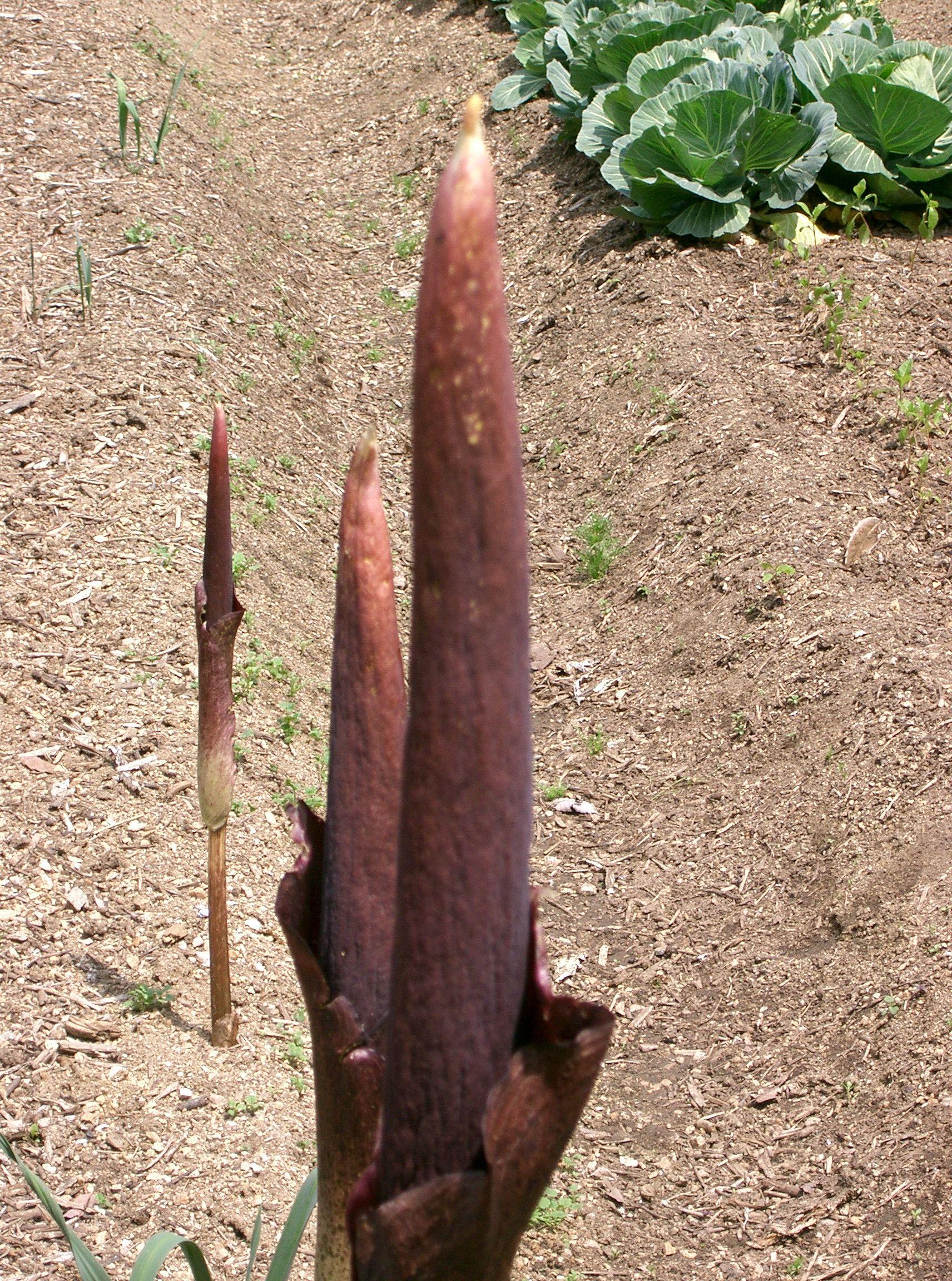 File:Amorphophallus konjac2.jpg - Wikimedia Commons