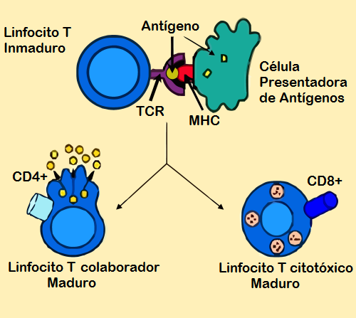 https://upload.wikimedia.org/wikipedia/commons/9/92/Antigen_presentation-es.png