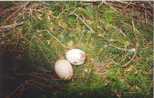 Dosiero:Aquila pomarina nest with eggs.jpg