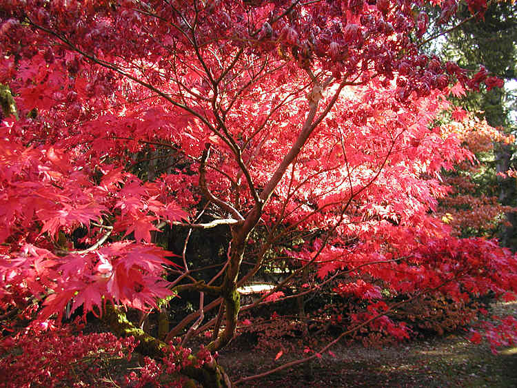 from en wikipedia. Autumn colours at Westonbirt Arboretum, Gloucestershire, England.<br> Picture taken by Adrian Pingstone in October 2003 and released to the public domain.<br><br> {{PD-user|Arpingstone}} category:Autumn