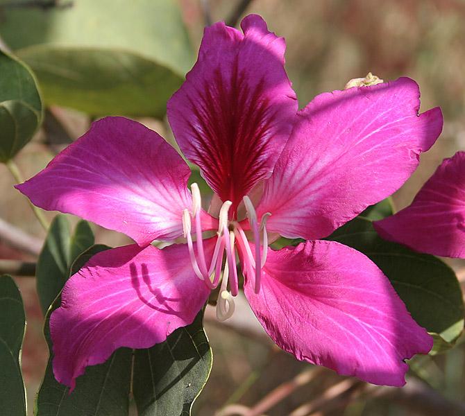 File:Bauhinia variegata (Kachnar) in Hyderabad, AP W IMG ...