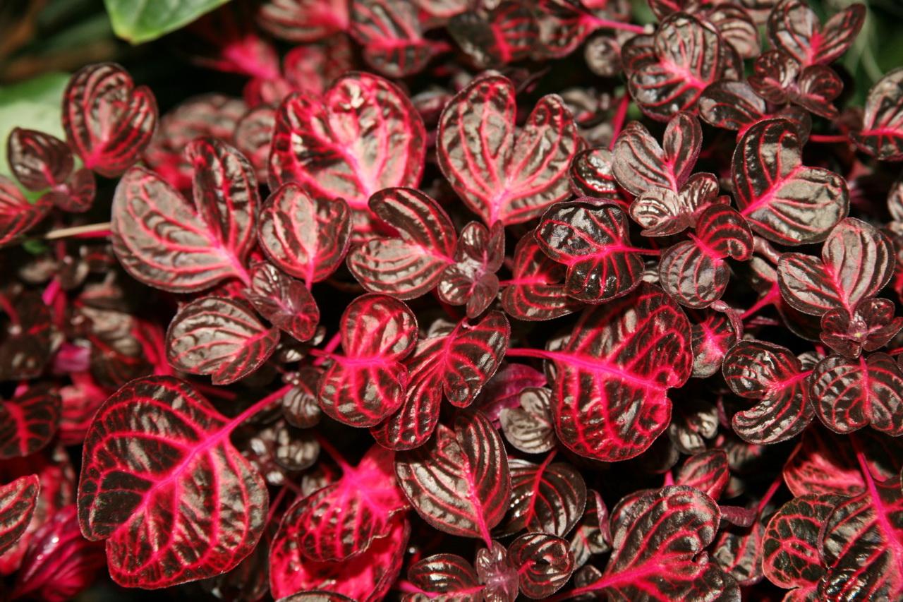 Planta con hojas rojas burdeos for Plantas de interior hojas rojas