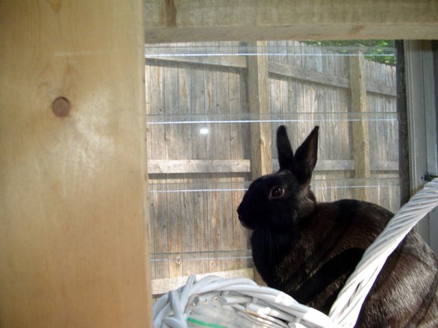 A black Netherland dwarf rabbit sitting on a window sill.