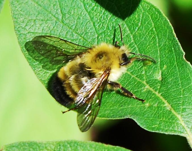 Black Bumble Bee >> Bombus perplexus - Wikipedia