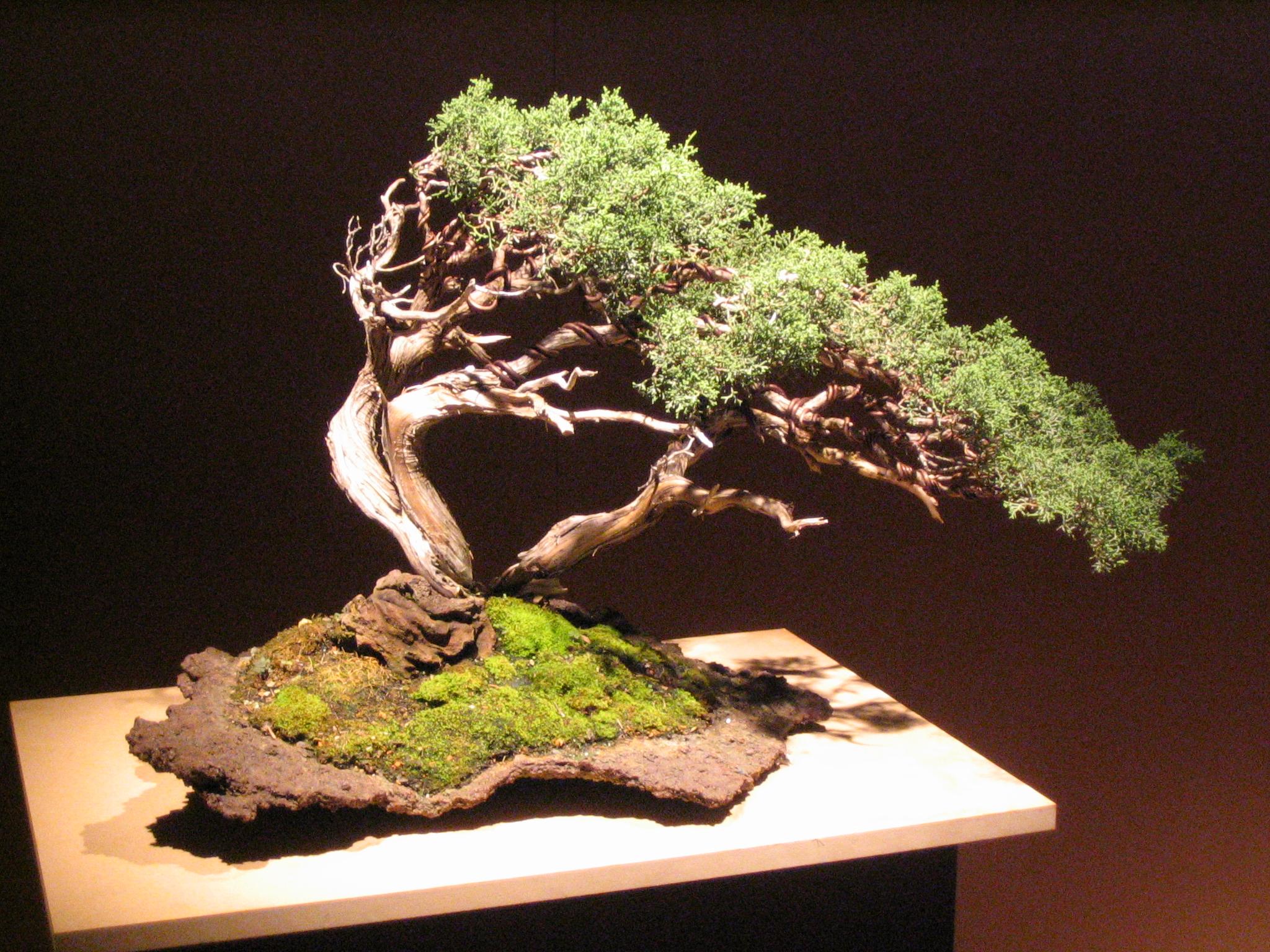 File bonsai img wikimedia commons for Bonsai de jardin