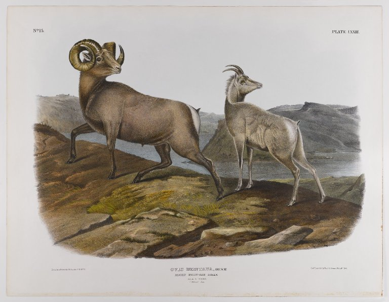 "John James Audubon, ""Rocky Mountain Sheep"""
