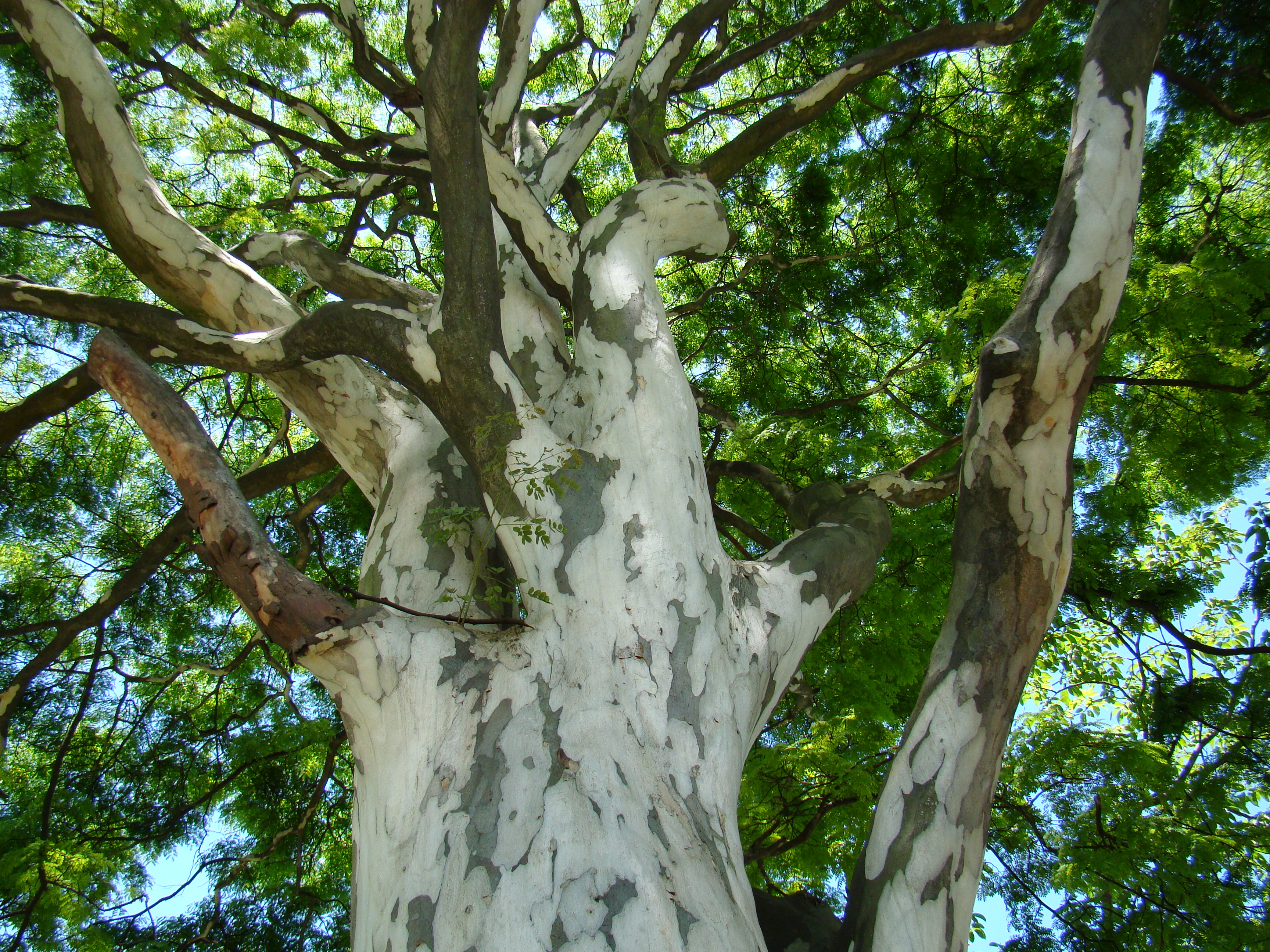 Free Green File Caesalpinia Ferrea Bark Jpg Wikimedia Commons