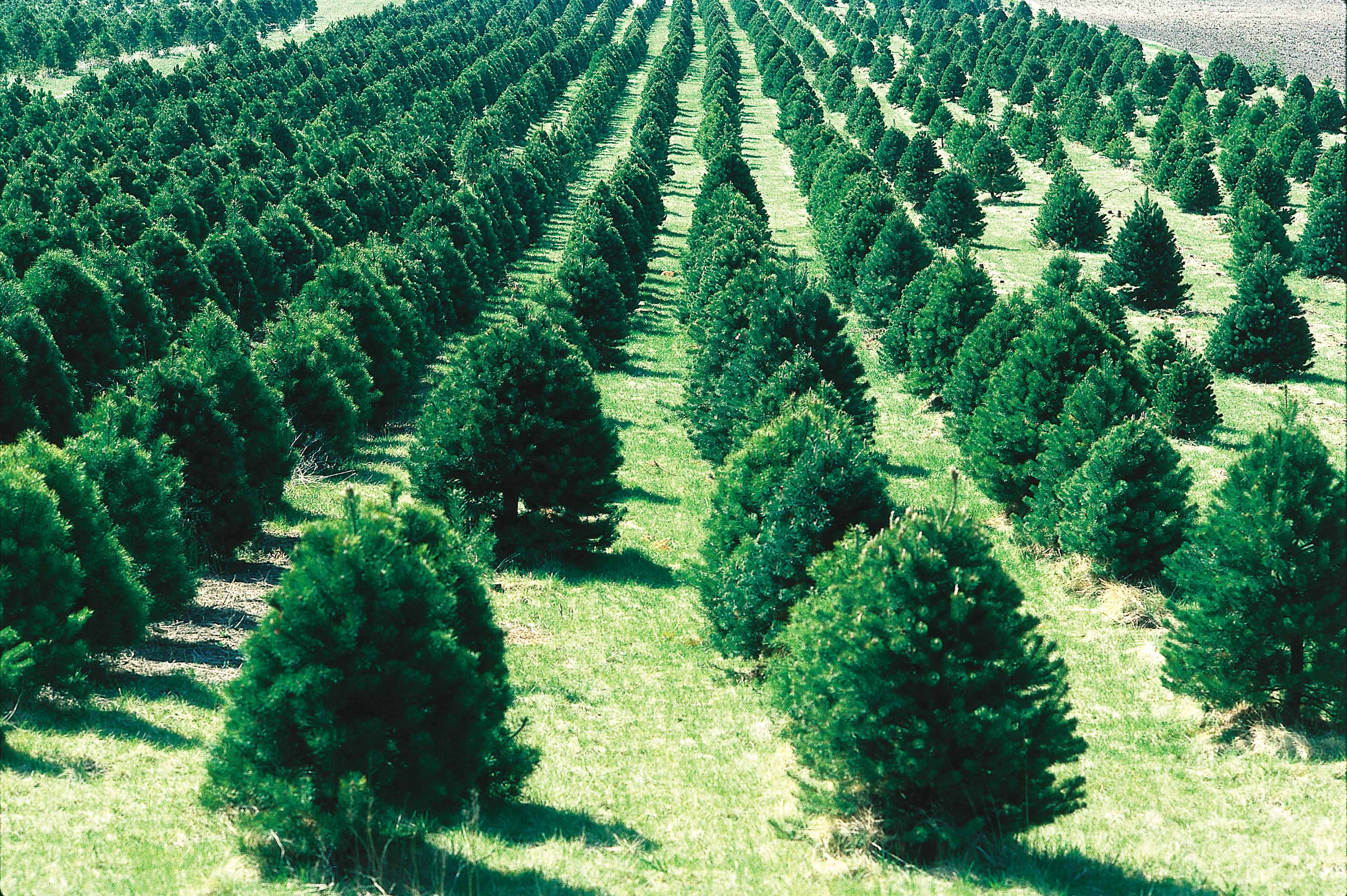 this christmas tree farm in iowa is located on flat ground and has well mowed rows between the trees - Christmas Trees Near Me