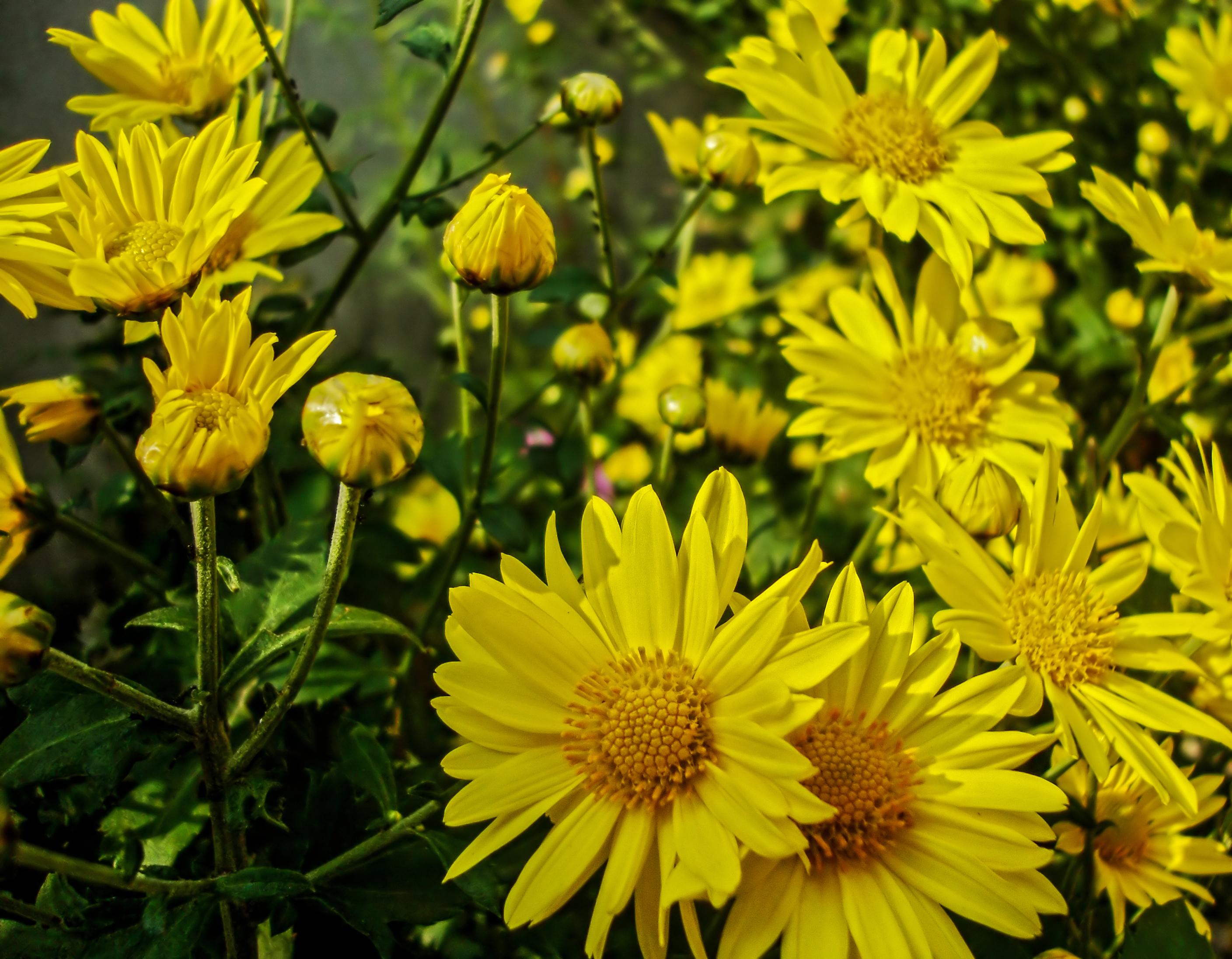 Berühmt File:Chrysanthemum indicum 17122010.jpg - Wikimedia Commons &VA_84