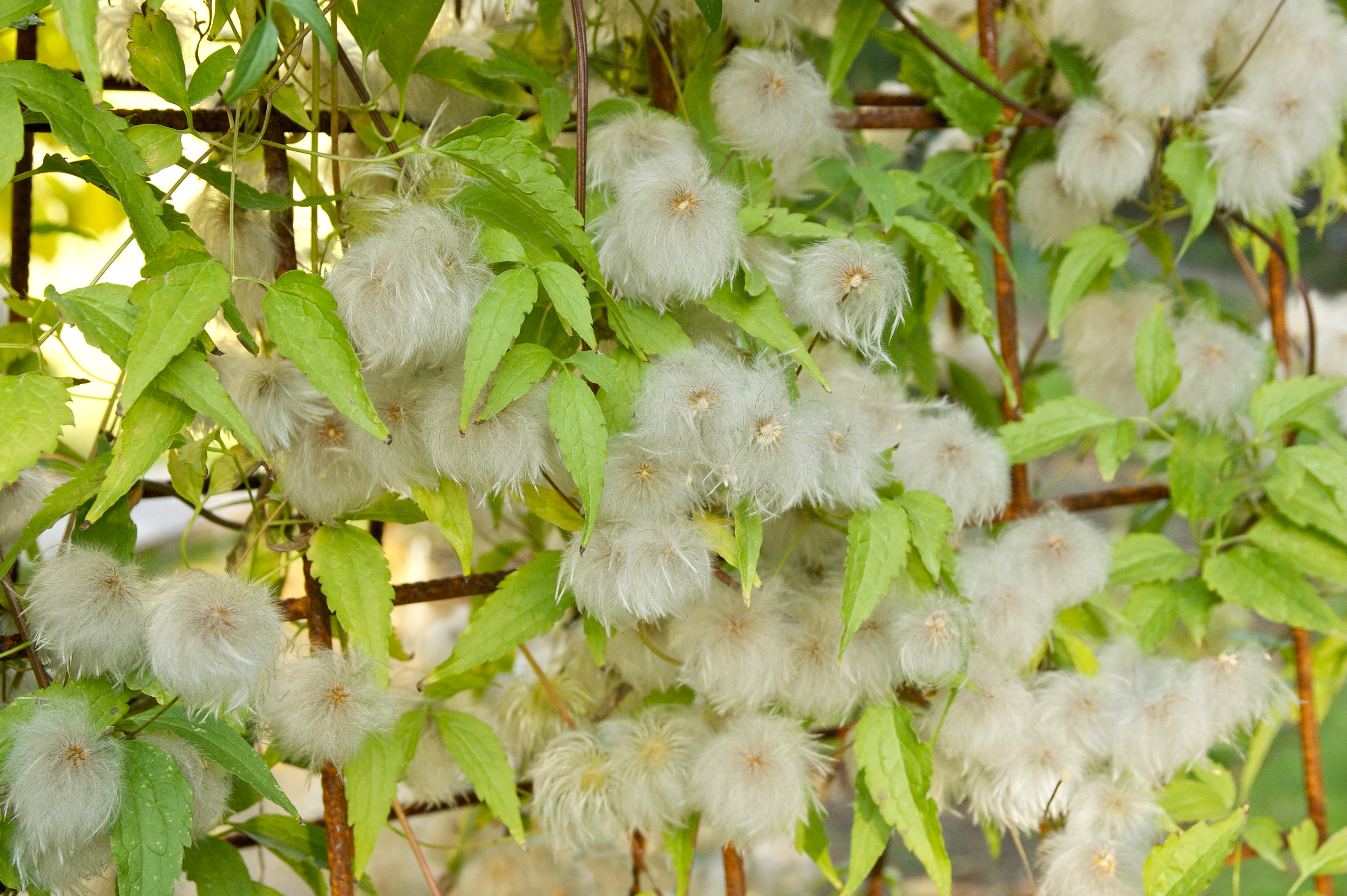 file clematis tangutica wikimedia commons. Black Bedroom Furniture Sets. Home Design Ideas
