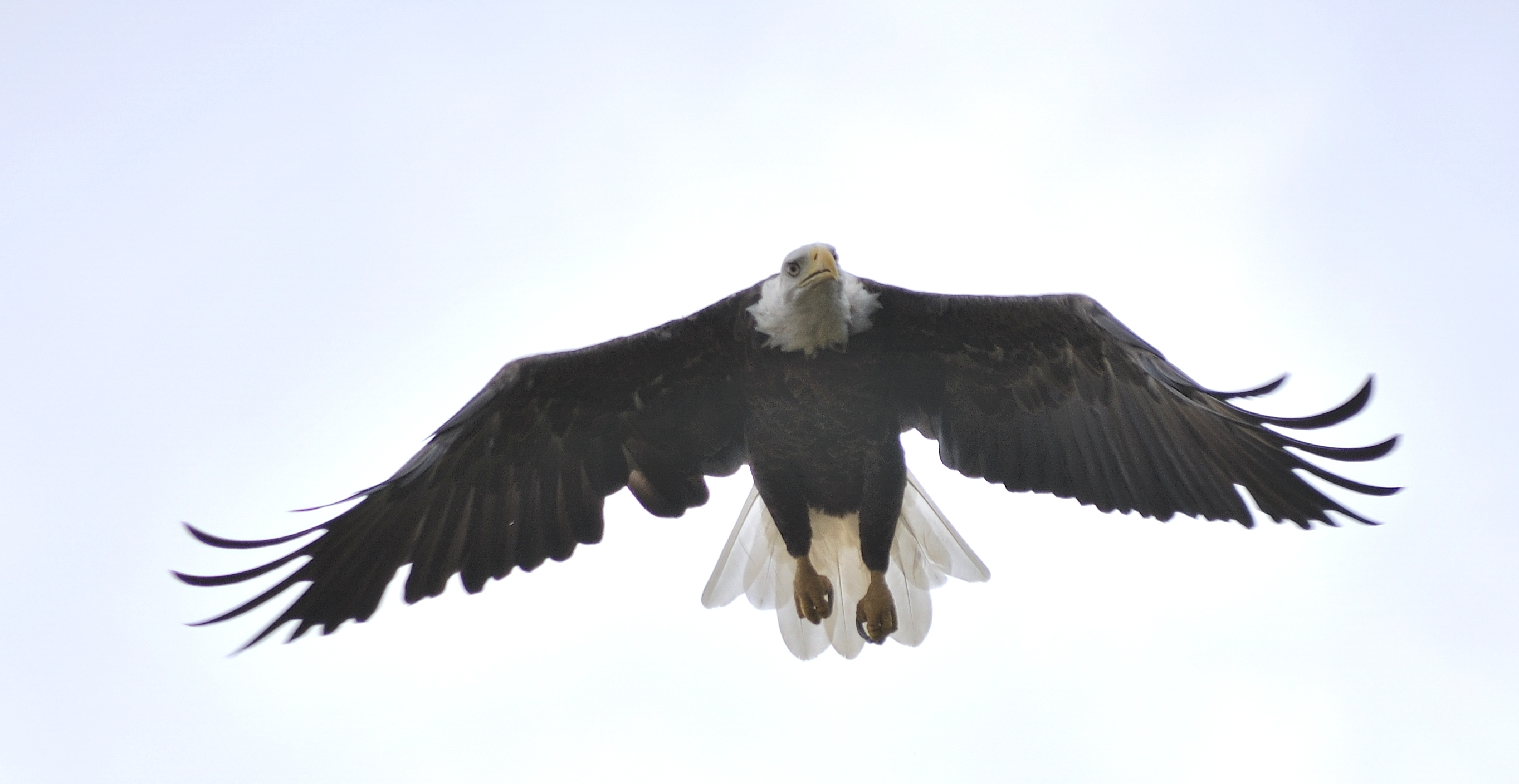 Eagle Coming In For A Landing, #Eagle