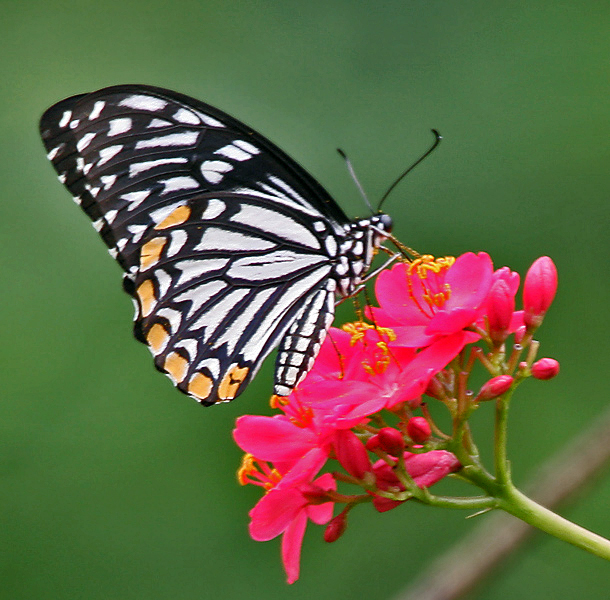 File:Common Mime - Papilio clytia (dissimilis form) on Jatropha panduraefolia in Kolkata Iws IMG 0217.jpg